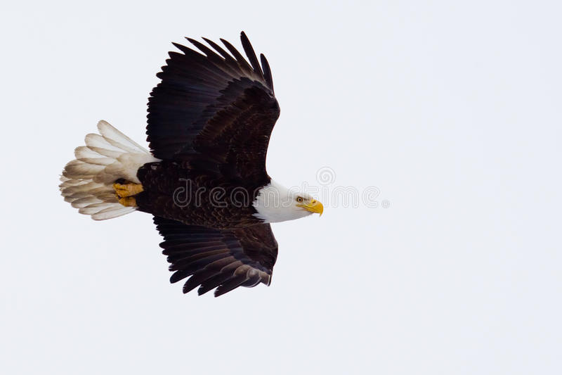 Voo americano da águia americana imagens de stock royalty free