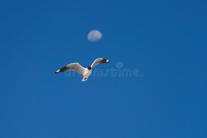 Voo andino da gaivota contra o céu azul e lua defocused fotografia de stock