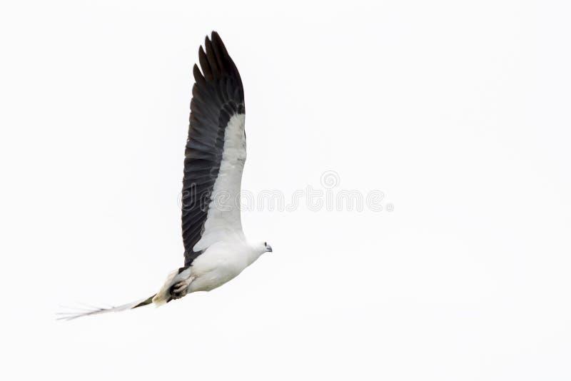 Voo branco-inchado bonito no céu acima do parque de Kakadu, Austrália da águia de mar imagem de stock