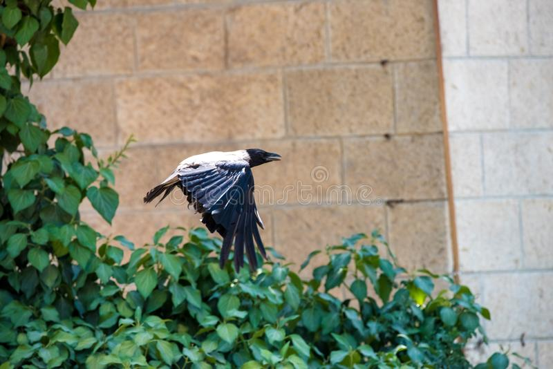 Voo cinzento do corvo no céu azul em nuvens livres selvagens da natureza acima da asa do pássaro dos animais selvagens do medo fotografia de stock
