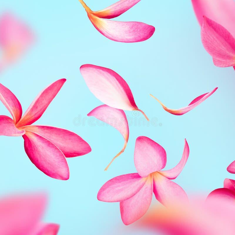 Voo cor-de-rosa das pétalas do frangipani ou da flor do plumeria imagem de stock royalty free