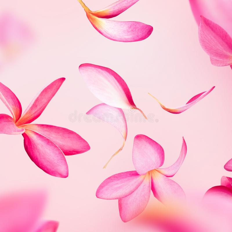 Voo cor-de-rosa das pétalas do frangipani ou da flor do plumeria imagens de stock