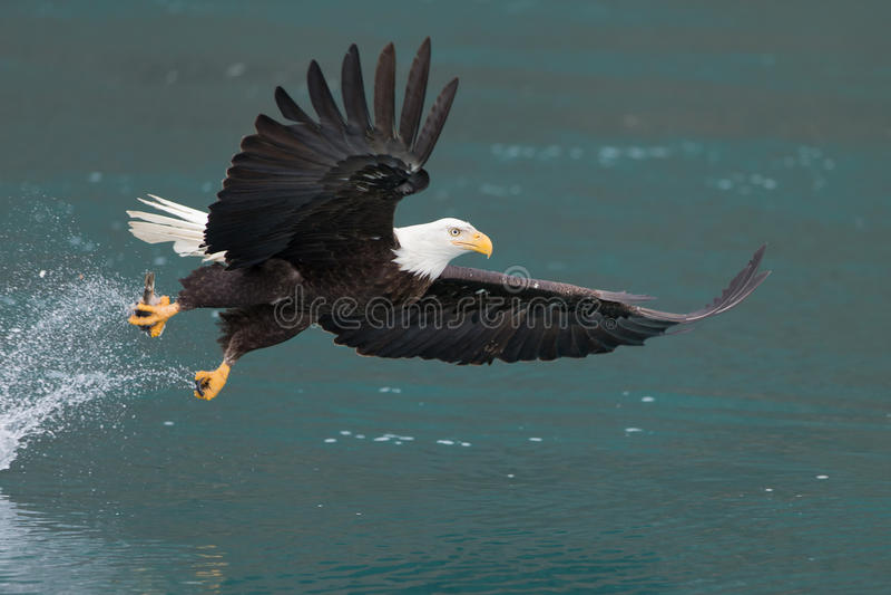 Voo da águia americana, Homer Alaska fotografia de stock