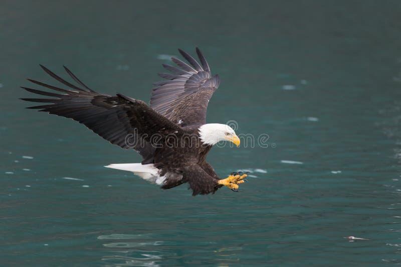Voo da águia americana, Homer Alaska imagem de stock royalty free
