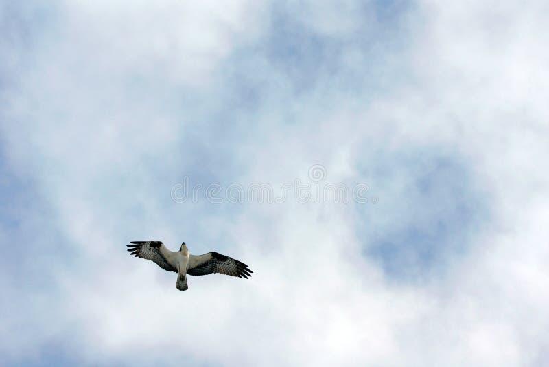 Voo da águia pescadora acima fotografia de stock