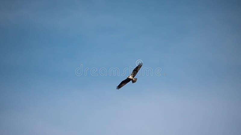 Voo da águia pescadora no céu azul imagens de stock royalty free