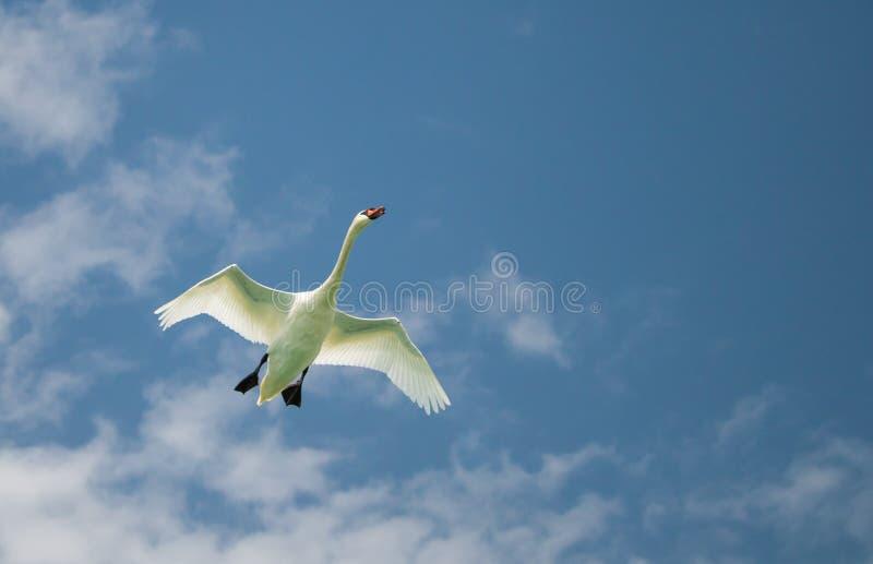 Voo da cisne em um céu azul fotografia de stock