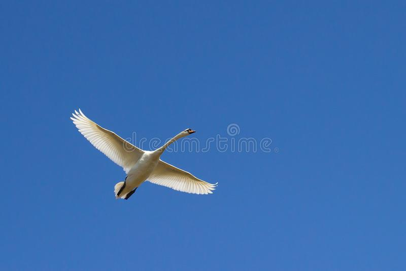 Voo da cisne no céu azul fotografia de stock