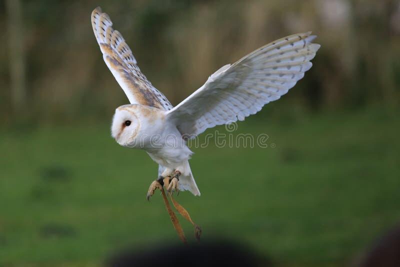 Voo da coruja de celeiro, em voo fotos de stock royalty free