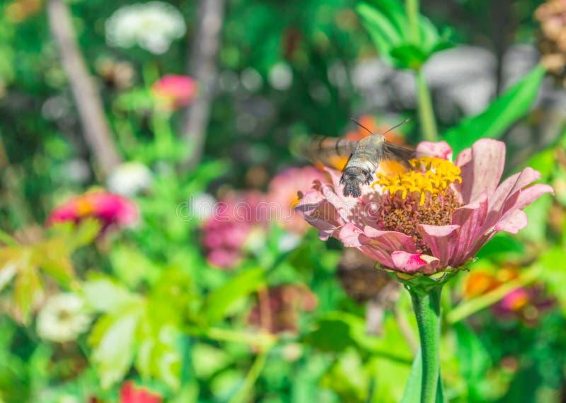 Voo da falcão-traça do colibri em torno de uma flor foto de stock