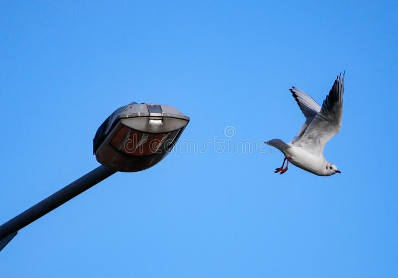 Voo da gaivota da gaivota/arenques longe da lâmpada de rua imagens de stock