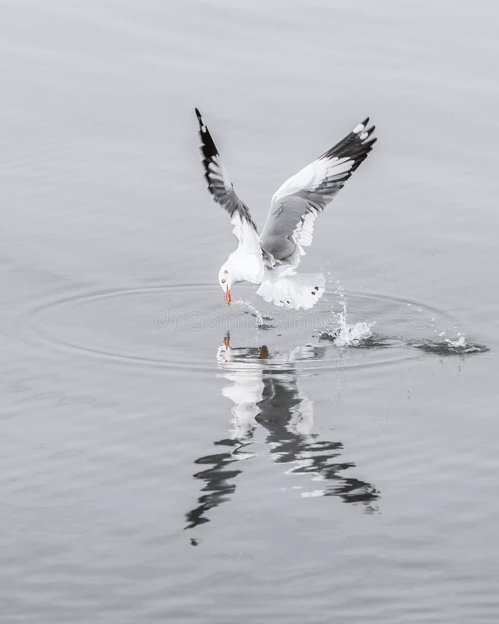 Voo da gaivota da velocidade na superfície da água para travar o alimento foto de stock royalty free