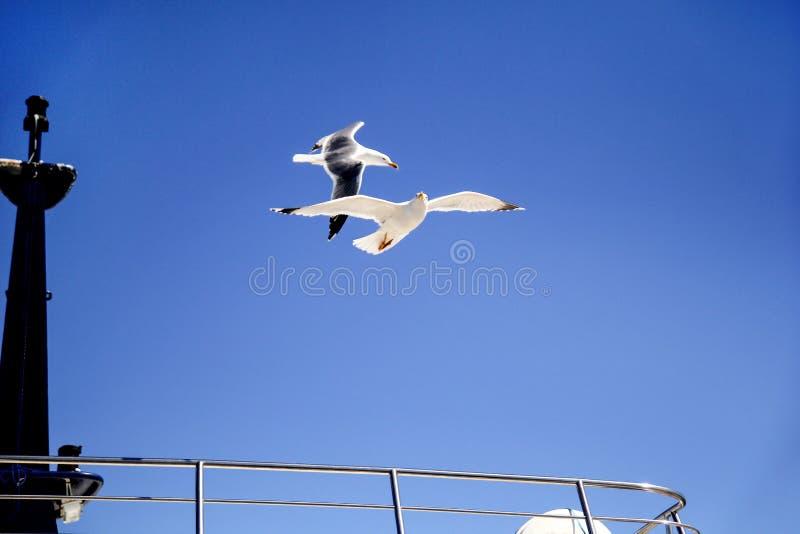 Voo da gaivota do pássaro no céu sobre o mar fotos de stock royalty free