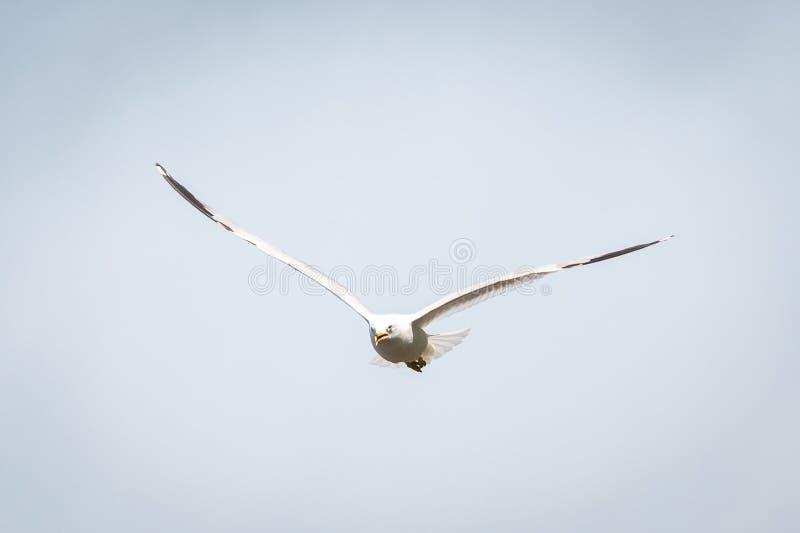 Voo da gaivota do verão no céu no dia fotografia de stock royalty free