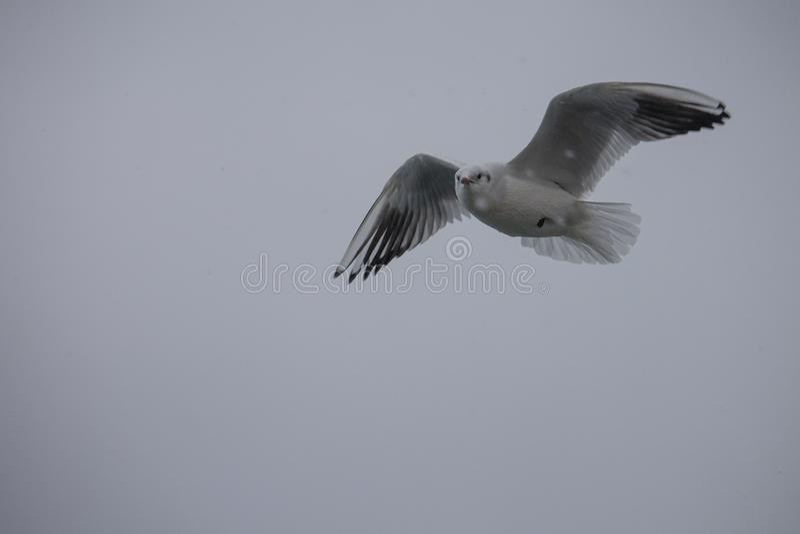 Voo da gaivota em céus cinzentos do inverno imagem de stock royalty free