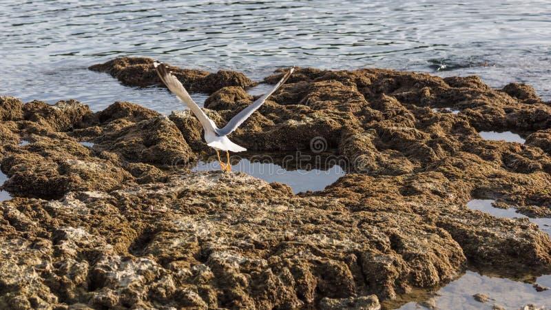 Voo da gaivota em rochas imagem de stock