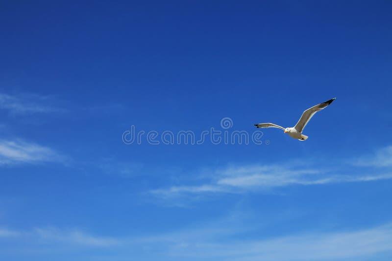 Voo da gaivota em um céu azul imagens de stock