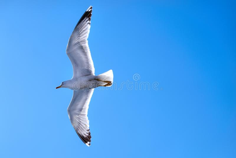 Voo da gaivota em um céu azul profundo com asas espalhadas foto de stock