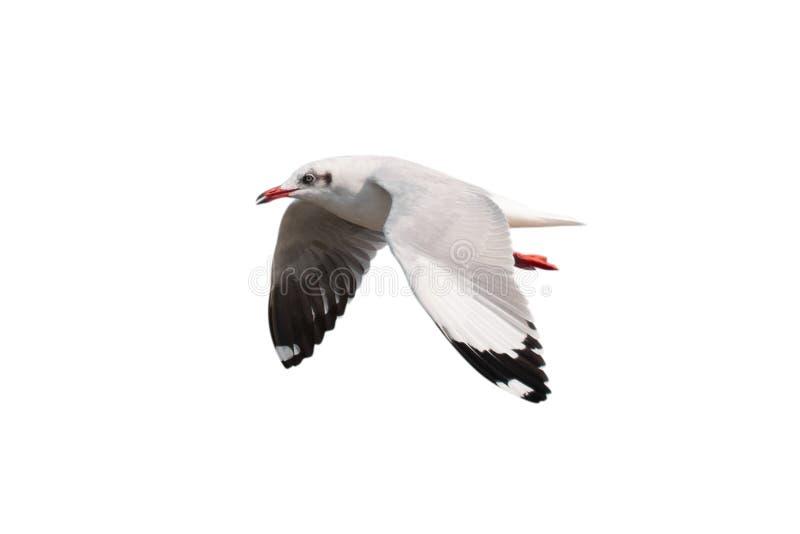 Voo da gaivota isolado no fundo branco - trajetos de grampeamento imagens de stock