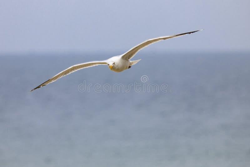 Voo da gaivota na praia fotos de stock royalty free