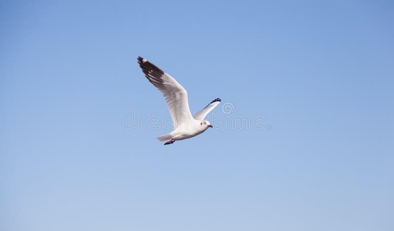 Voo da gaivota no céu fotografia de stock