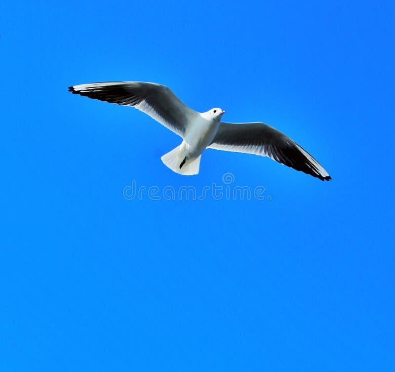 Voo da gaivota no c?u imagem de stock royalty free