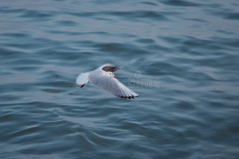 Voo da gaivota no c?u as gaivotas est?o voando contra a praia Uma gaivota que vai dentro para uma aterrissagem na ?gua do tumwate fotos de stock royalty free