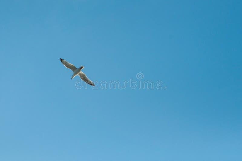 Voo da gaivota no fundo do c?u azul fotos de stock