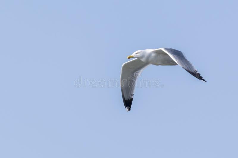 Voo da gaivota no lago fotografia de stock