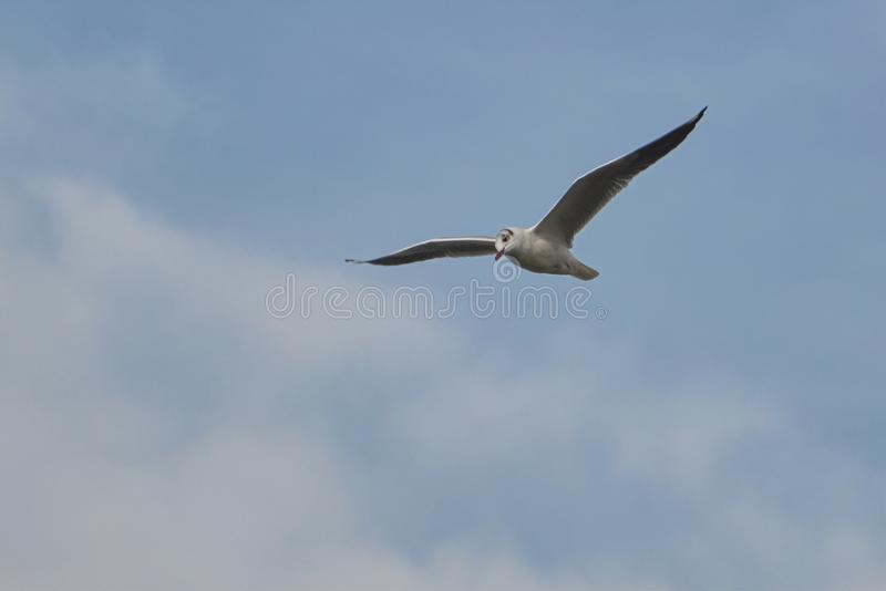 Voo da gaivota no lago foto de stock