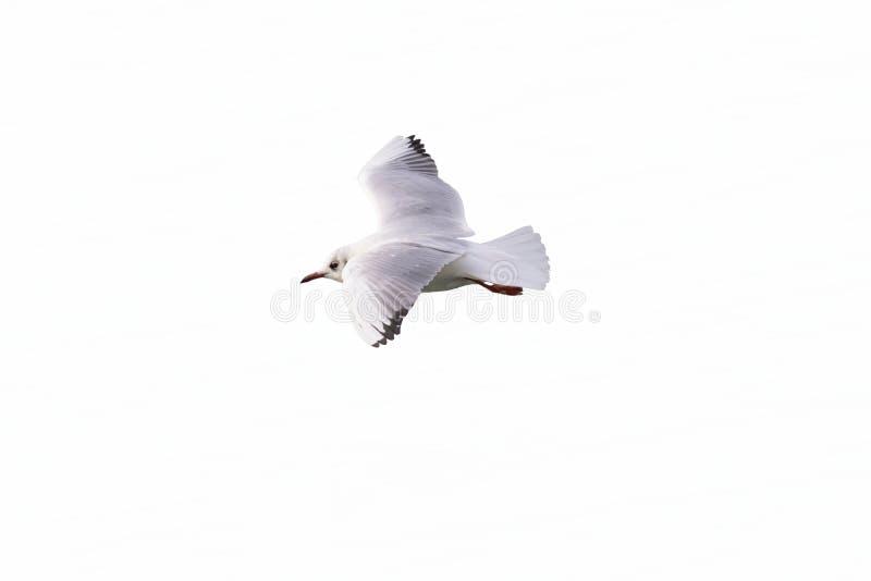 Voo da gaivota no mar fotografia de stock