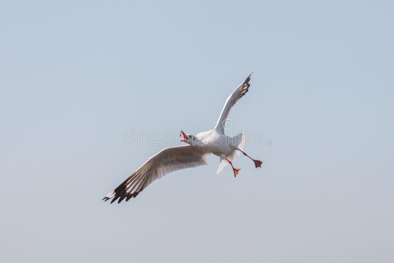 Voo da gaivota para comer o alimento no céu azul imagem de stock royalty free