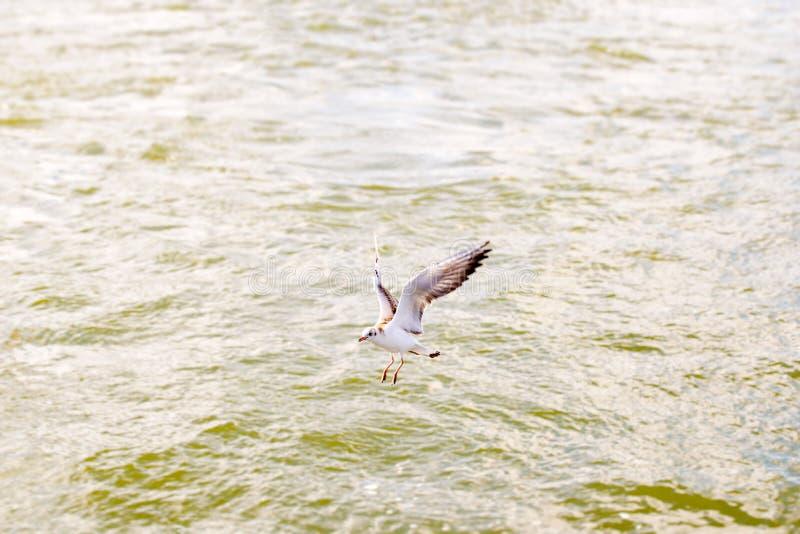 Voo da gaivota perto da água e do alimento da procura fotografia de stock