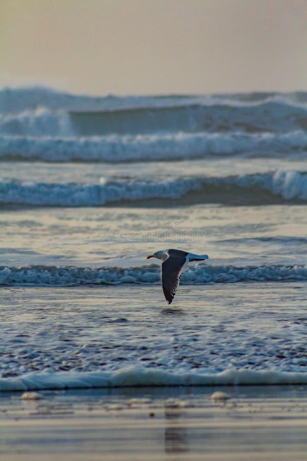 Voo da gaivota sobre as asas do oceano da costa de Oregon que tocam mal na água fotos de stock