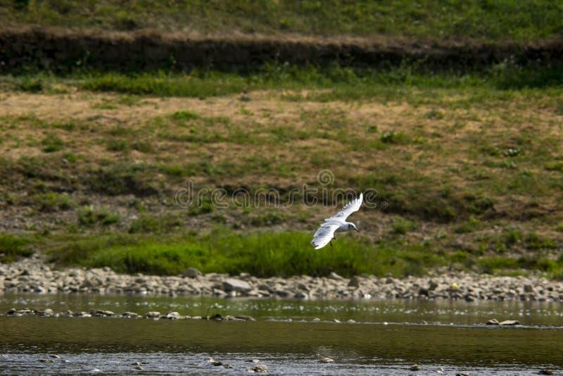 Voo da gaivota sobre o rio foto de stock