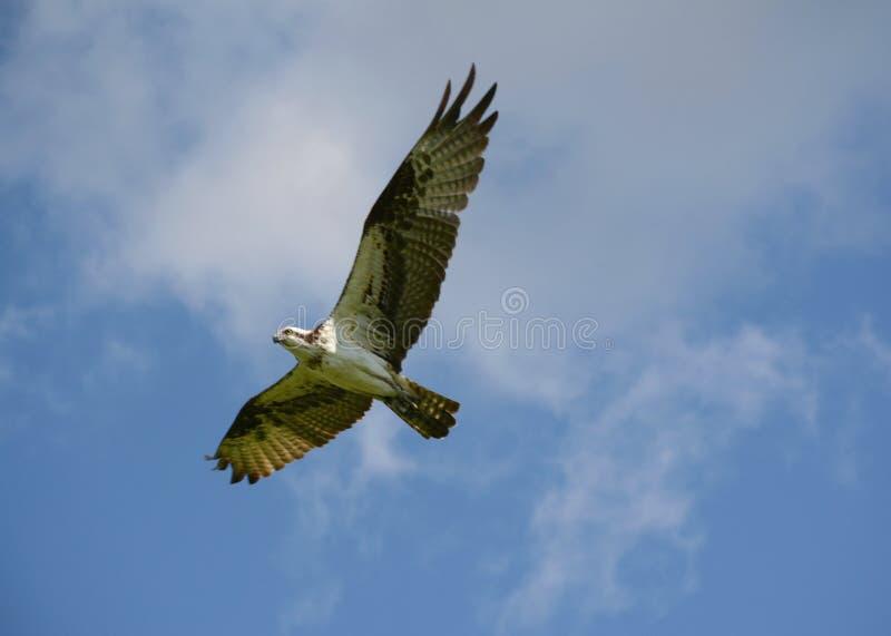 Voo da mola de uma águia pescadora norte-americana fotos de stock royalty free