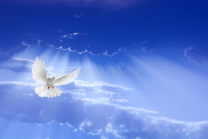 Voo da pomba do branco no céu foto de stock