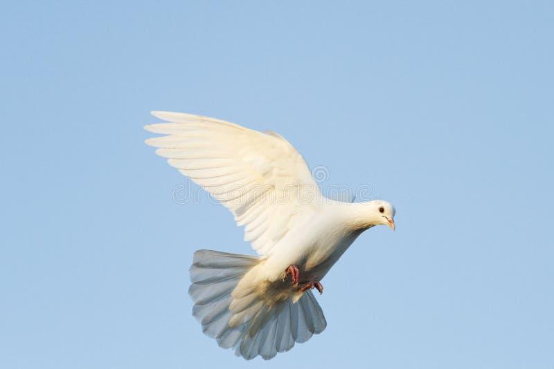 Voo da pomba do branco no céu azul fotografia de stock royalty free