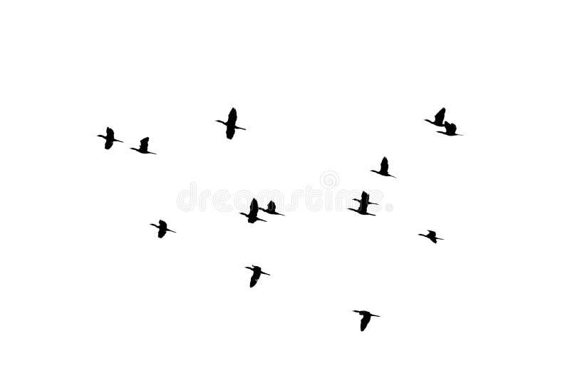 Voo da silhueta dos pássaros do rebanho no fundo branco fotografia de stock royalty free