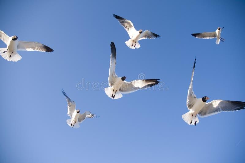 Voo das gaivotas imagem de stock royalty free