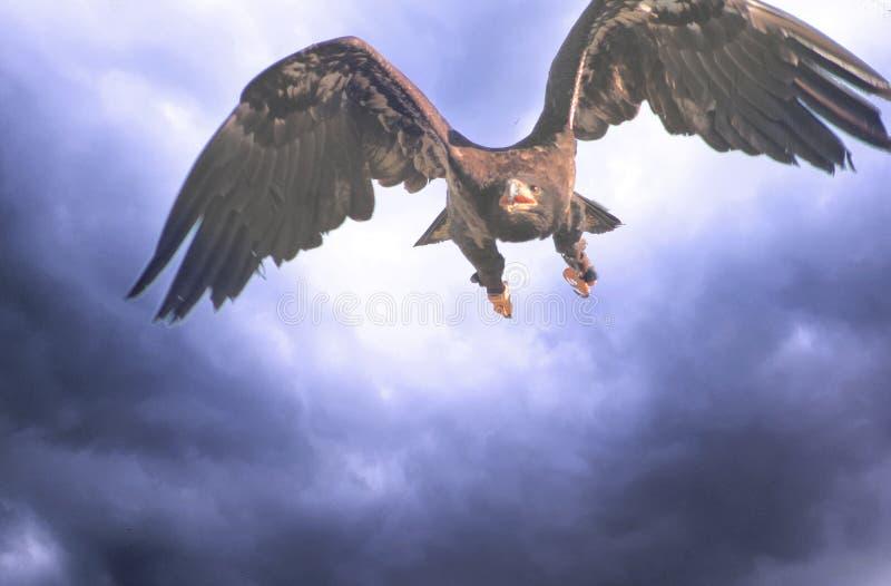Voo de Eagle em um céu do temporal ilustração do vetor