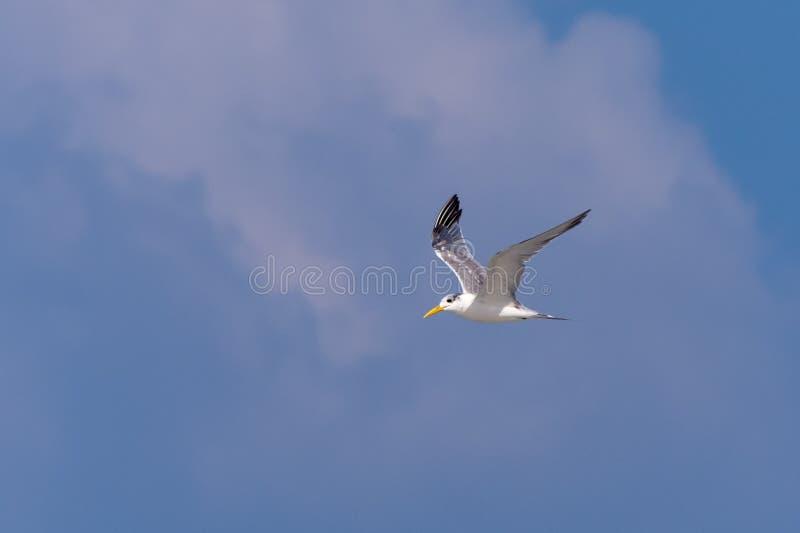 Voo de Lesser Crested Tern através do céu azul fotos de stock royalty free
