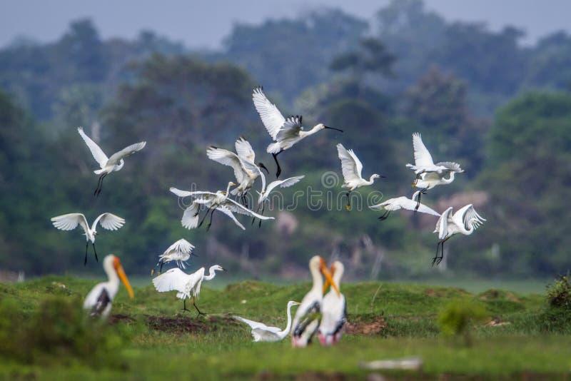 Voo de pássaros aquáticos na lagoa da baía de Arugam, Sri Lanka fotografia de stock royalty free