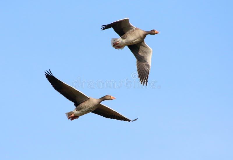 Voo de pés rosados dos gansos (brachyrhynchus do Anser) imagens de stock