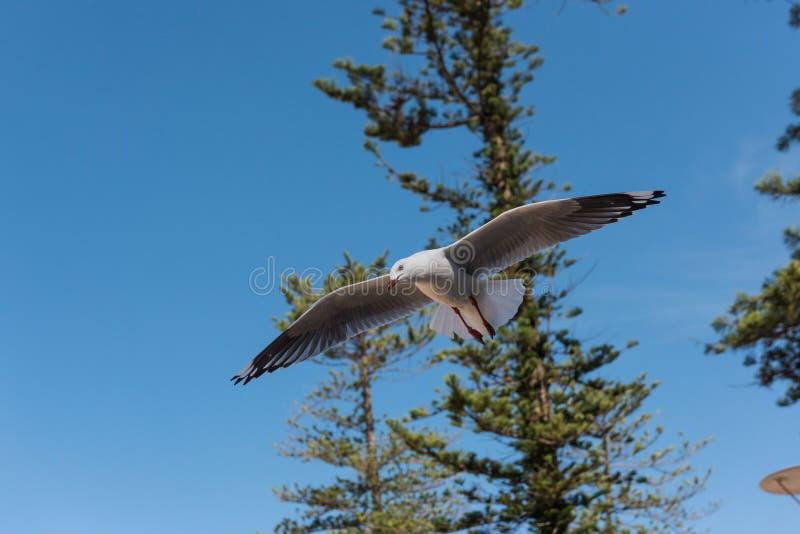 Voo de prata da gaivota da gaivota em Sydney, Austrália fotos de stock royalty free