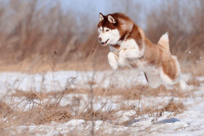 Voo de salto ronco siberian vermelho lindo do cão altamente sobre a terra fotografia de stock