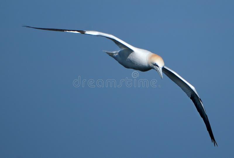 Voo do albatroz sobre o mar fotos de stock