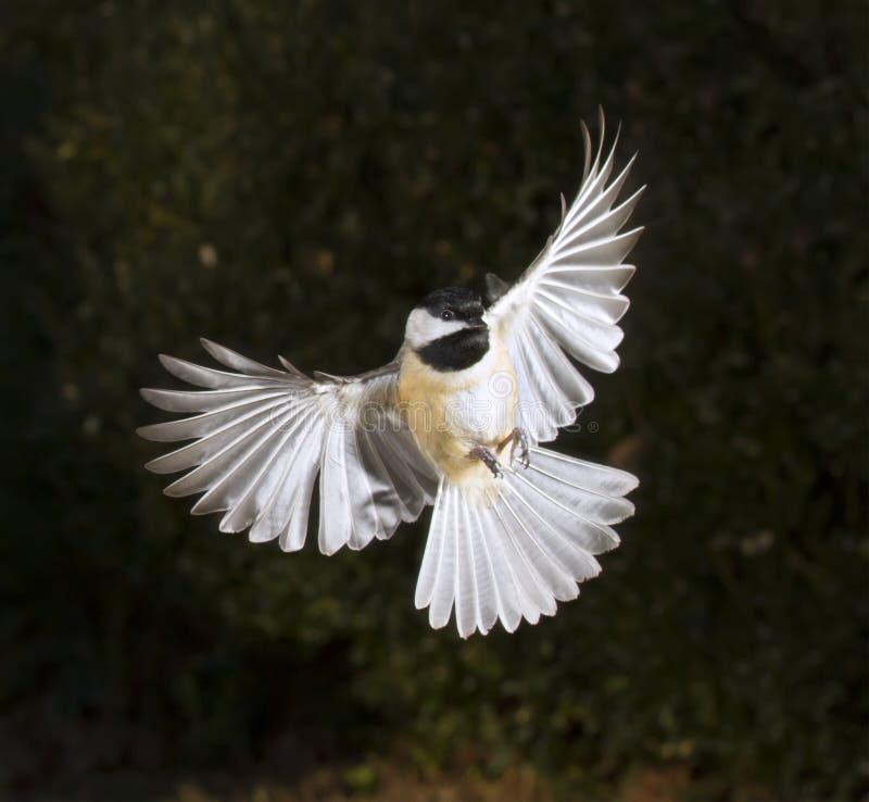 Voo do chickadee de Carolina (carolinensis de Poecile) fotos de stock royalty free
