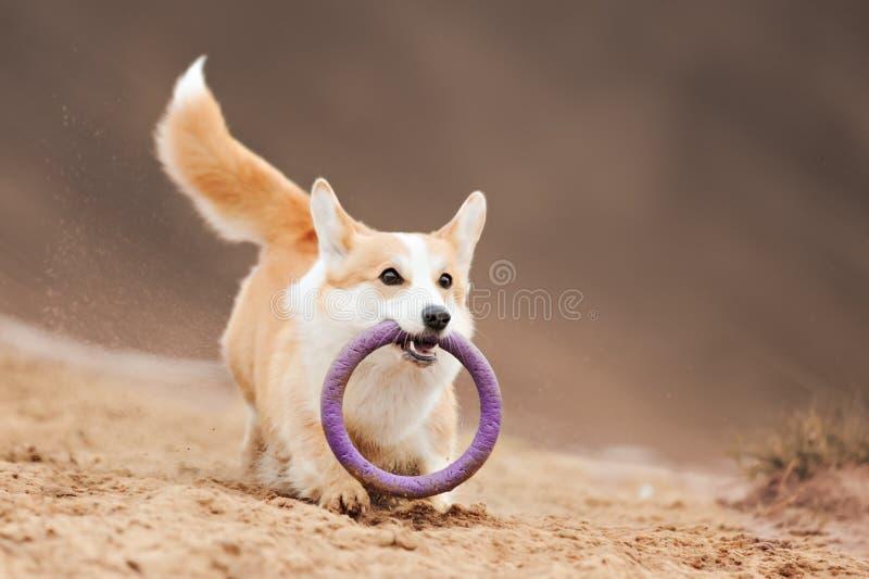 Voo do Corgi de Galês do cão fotografia de stock