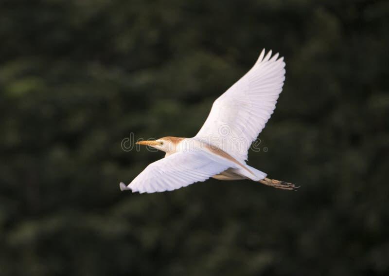 Voo do Egret de gado foto de stock royalty free